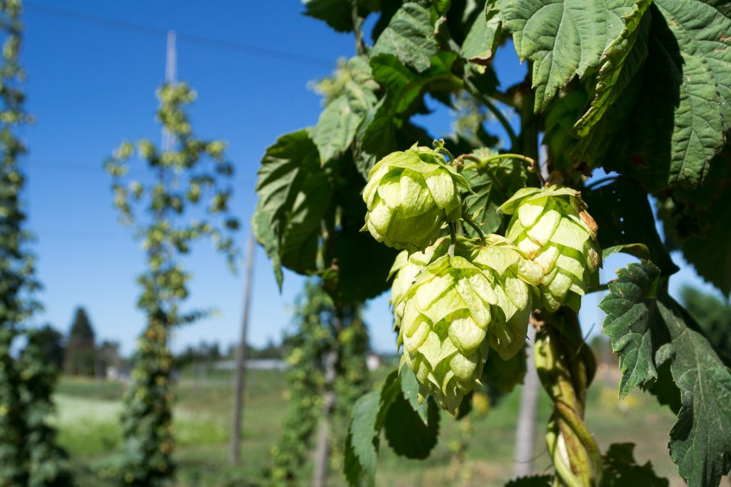 Oregon Hops